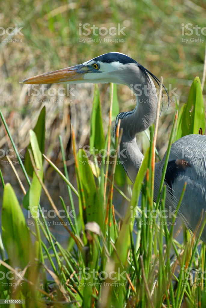 Good Heron Hunting stock photo