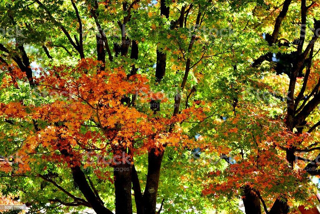 Good looking maple tree stock photo