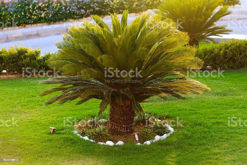 Gut aussehend sago palm Bäume wachsen im Garten – Foto
