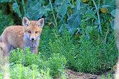 Good Morning Baby Fox