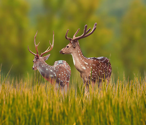 Good Morning Deer Deers Live in groups and are very social. They are always very alert and are always waiting for danger axis deer stock pictures, royalty-free photos & images