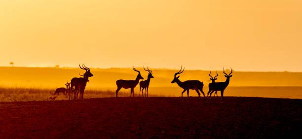 Good Morning Impalas stock photo
