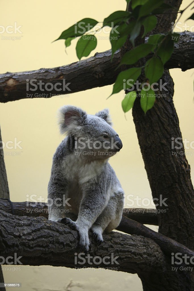 Good morning Mr. Koala! royalty-free stock photo
