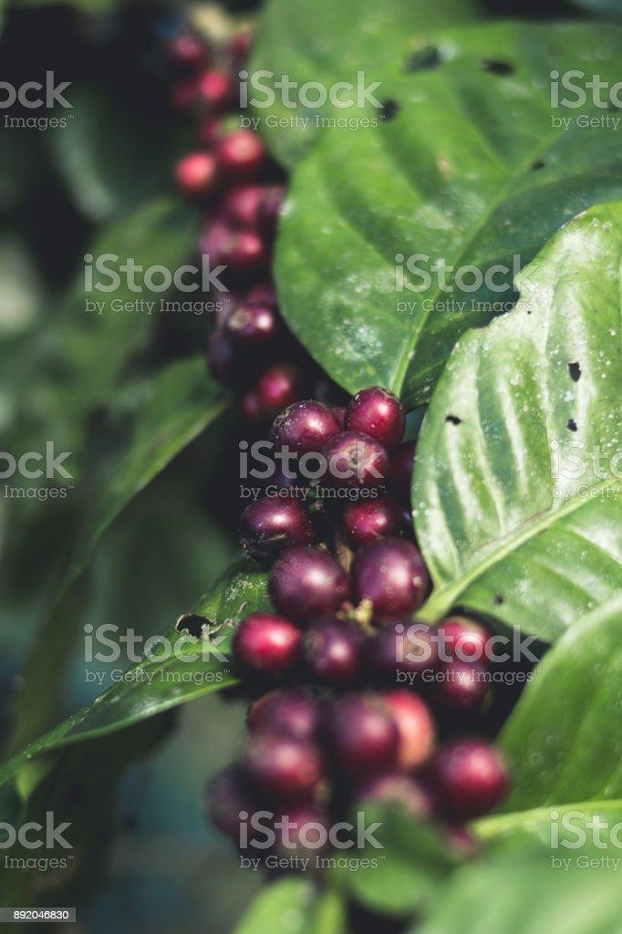 Gute Qualität Kaffee auf hohen Berg. In Südost-Asien-thailand – Foto