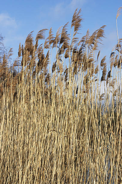 tall reeds beside lake - whiteway stock photos and pictures
