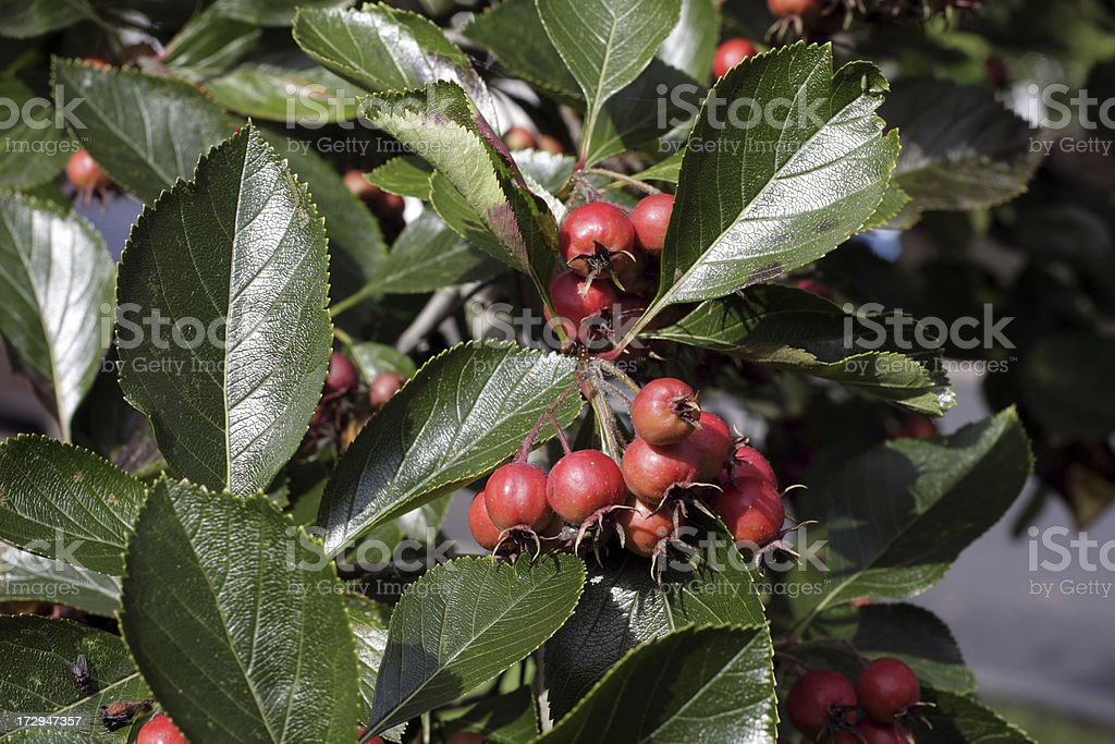 Autumn Red Berries Whitebeam Tree Sorbus Aria Glossy Green Leaves