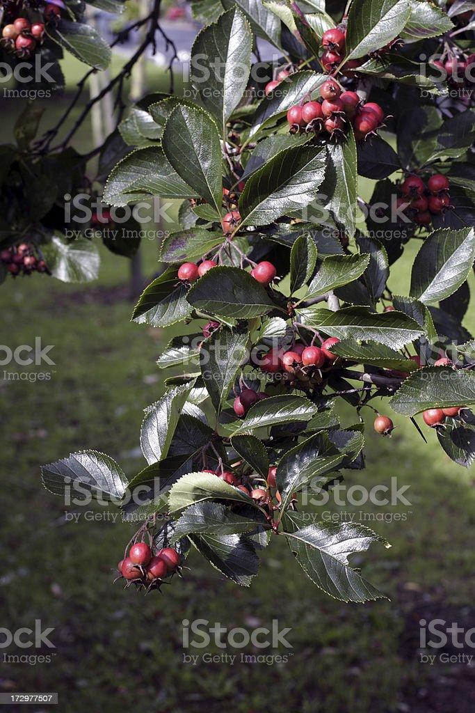 Autumn Red Berries Whitebeam Tree Sorbus Aria Dark Green