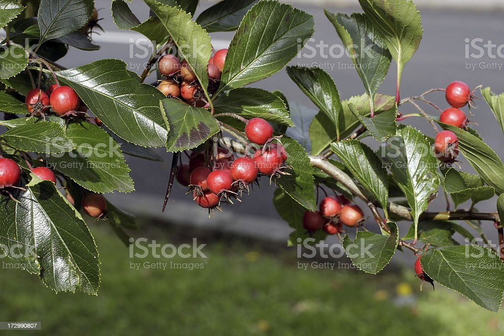 Autumn Red Berries Whitebeam Tree Sorbus Aria Dark Green Leaves