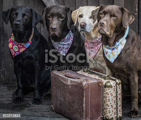 four Labradors packed ready to leave