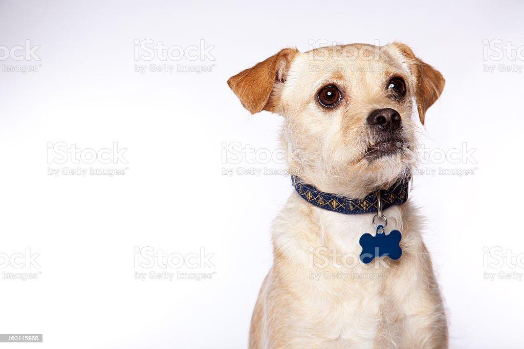 Goofy Dog Portrait with Copyspace stock photo
