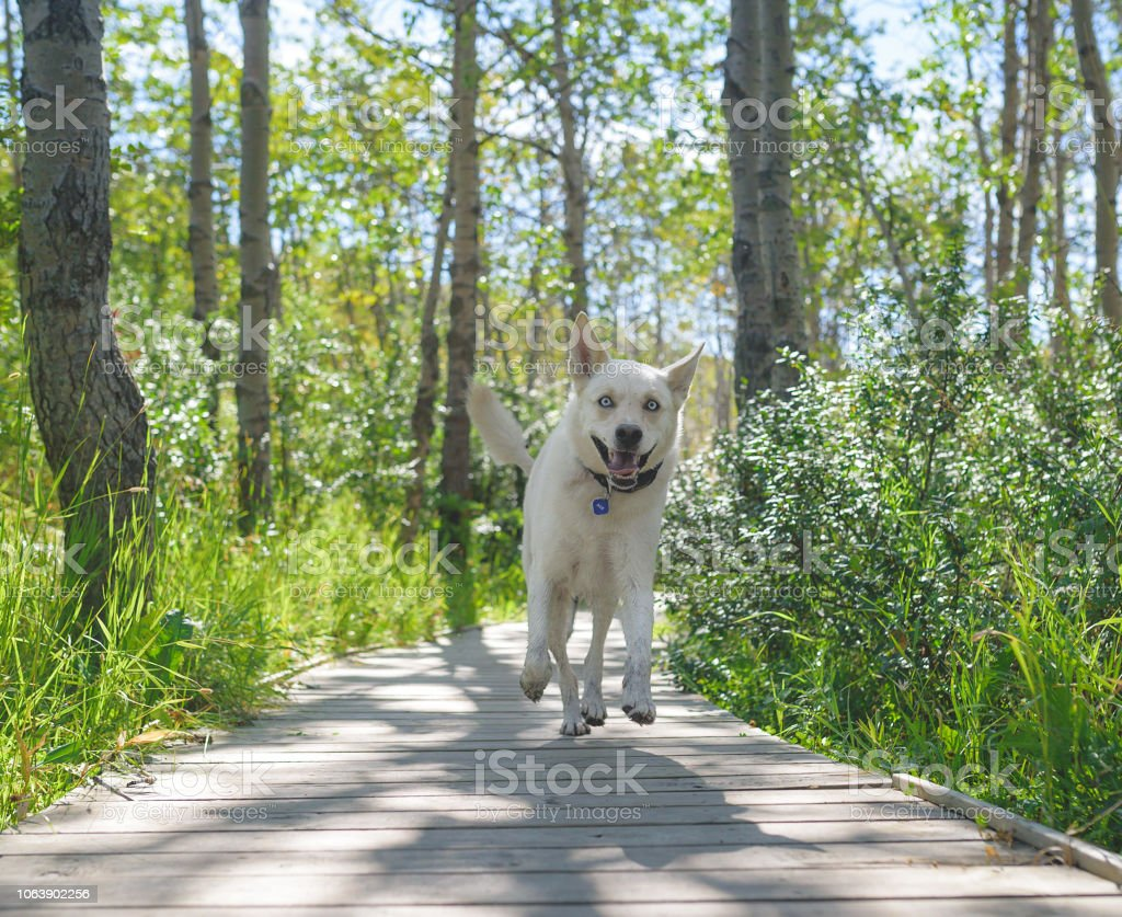 Goofy dog running on a path in the forest grinning stock photo