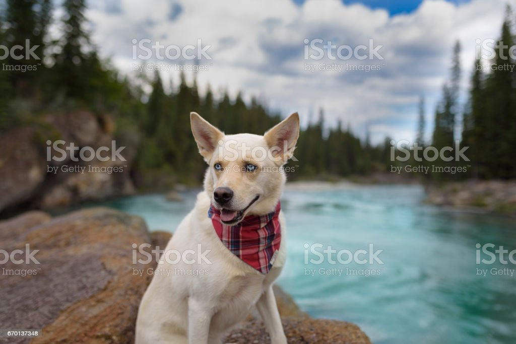 Goofy grin and big ears on happy rescue dog resting in the mountians stock photo