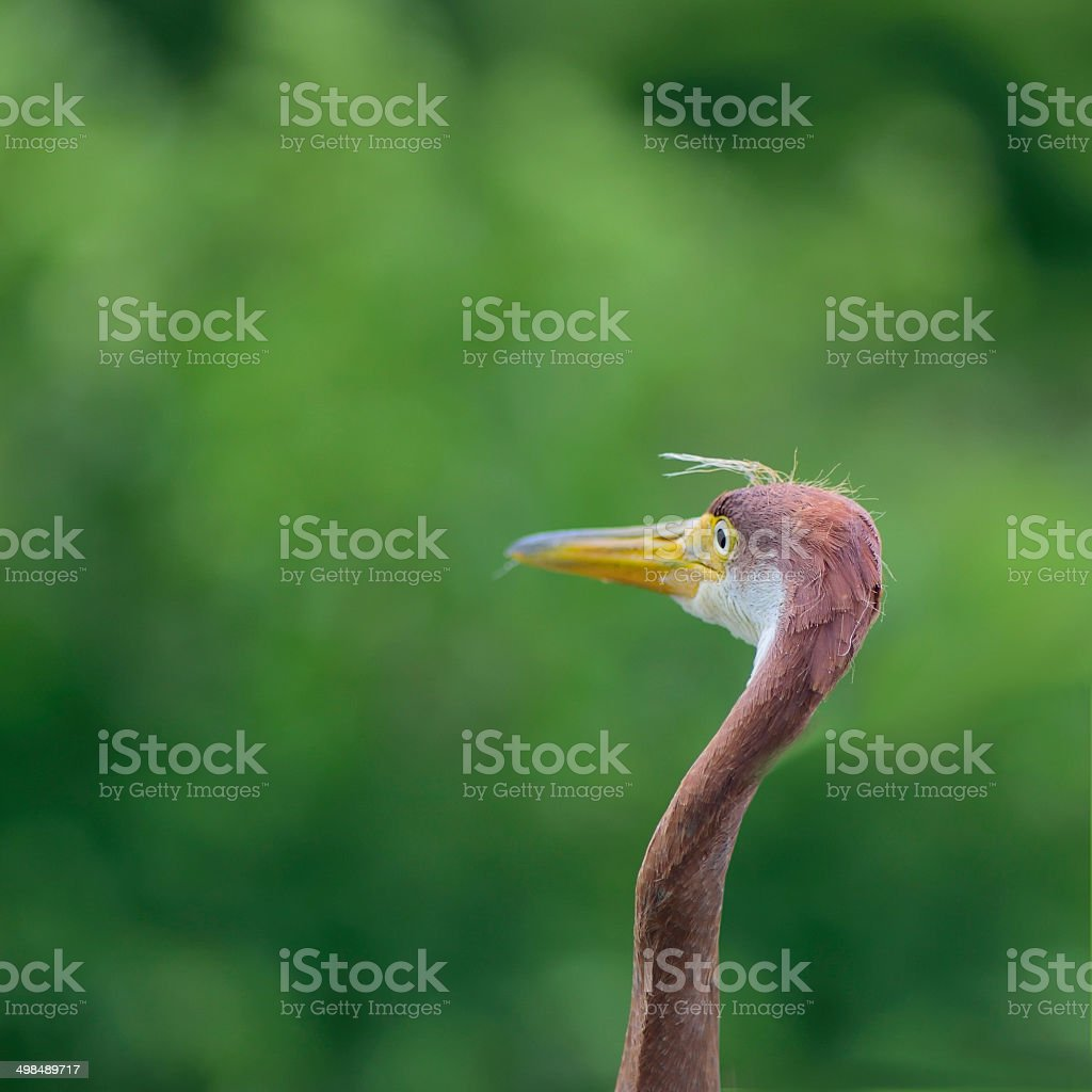 Goofy Tricolored Heron Staring stock photo