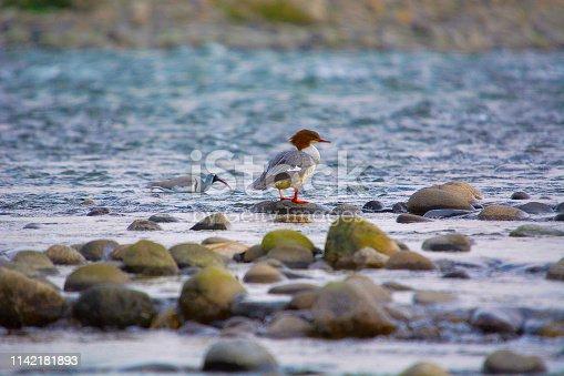 Goosander, Mergus merganser,  Nameri National Park, Assam, India
