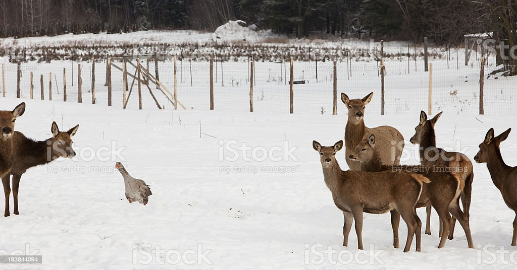 Goose and deers royalty-free stock photo