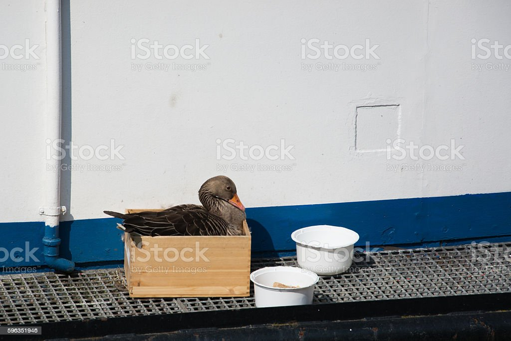 Goose at Breeding royalty-free stock photo