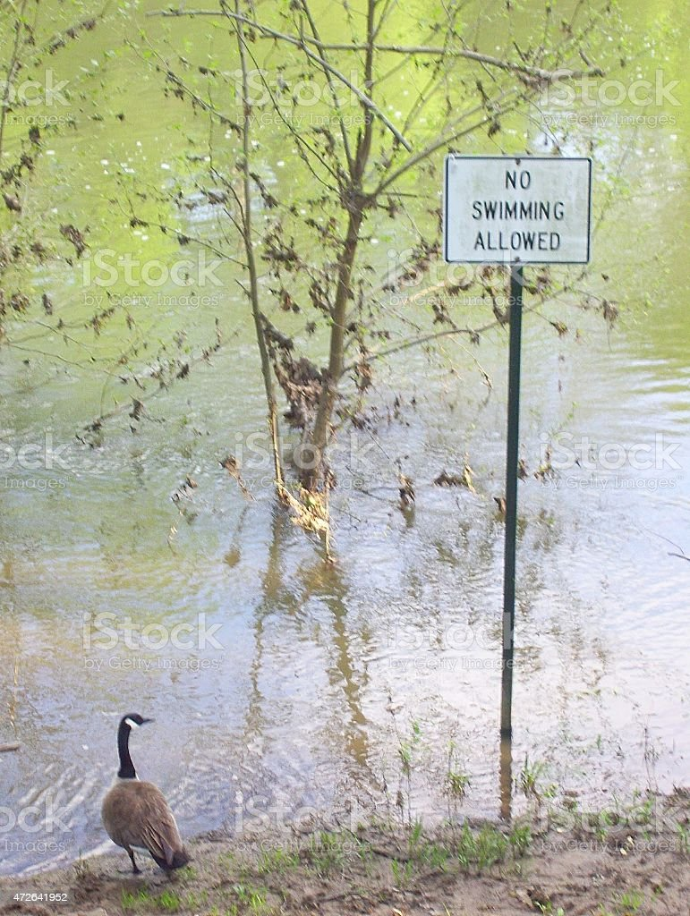 Goose at River with 'No Swimming Allowed' Sign stock photo
