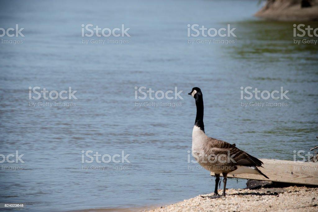 goose bank stock photo