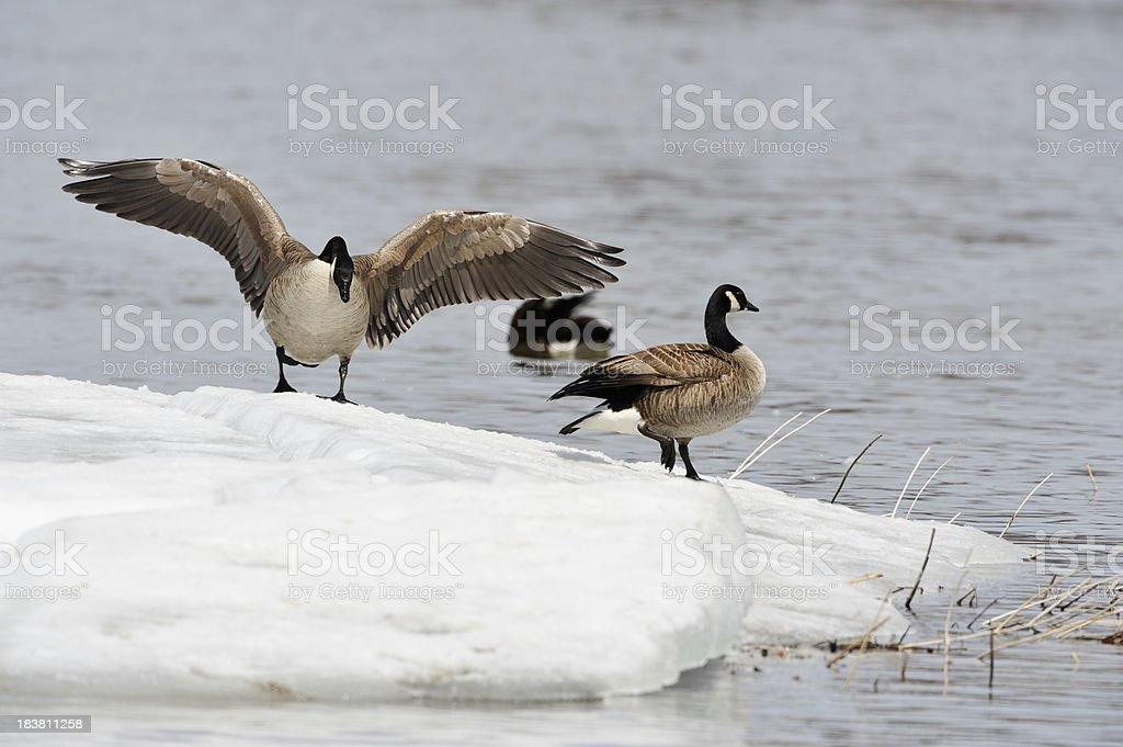 Goose, bird migration in Canada, spring scene stock photo