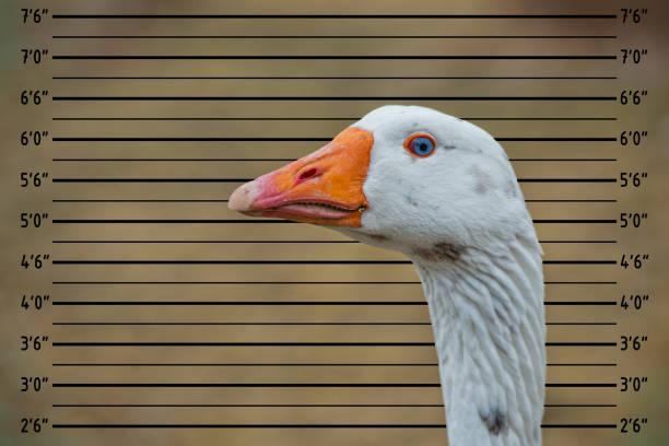 Goose close up portrait picture id1055060546?b=1&k=6&m=1055060546&s=612x612&w=0&h=n evc nt0xuxtuybw3tmpv 7icd7ayjhpyticizpdkw=