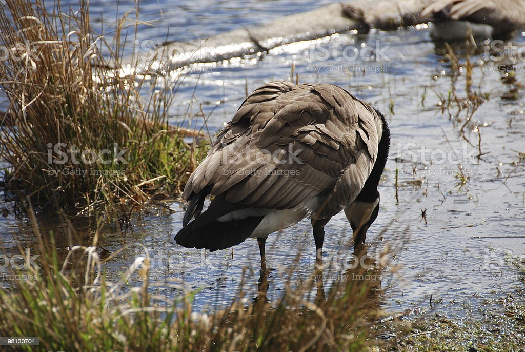 Goose Drinking From Lake royalty-free stock photo