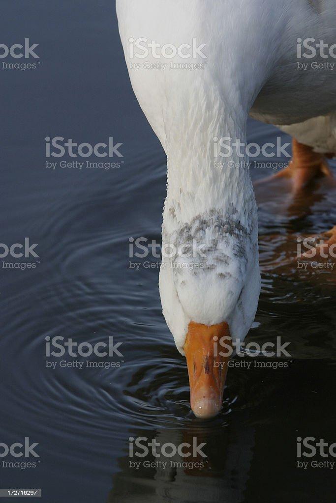Goose Drinking stock photo
