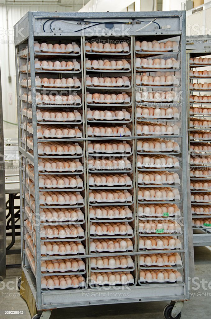 Goose eggs in commercial incubator in hatchery royalty-free stock photo