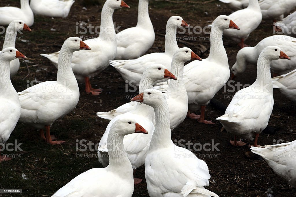 goose exception royalty-free stock photo
