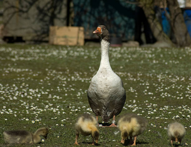 goose familie - sich im kreis drehen stock-fotos und bilder