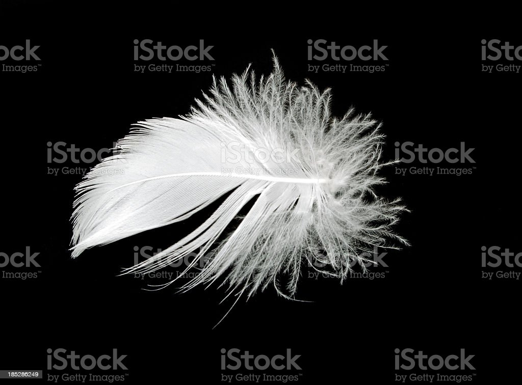 Goose Feather Isolated on Black stock photo