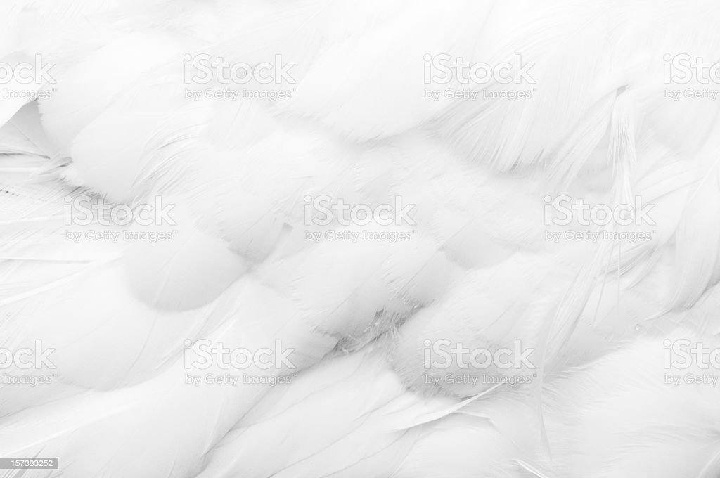 Goose Feathers stock photo