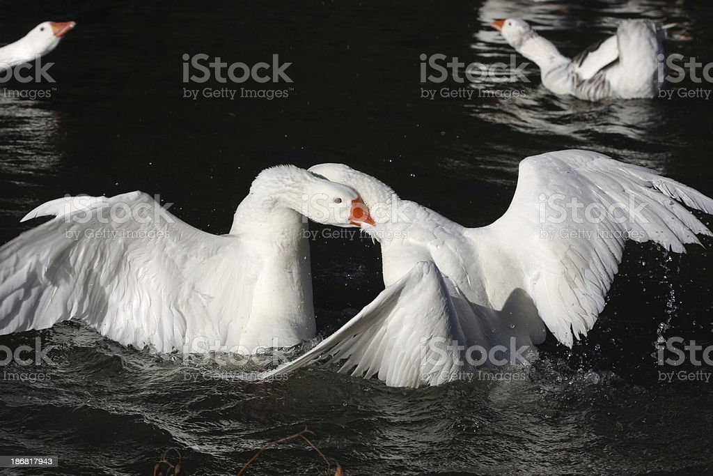 Goose Fight stock photo