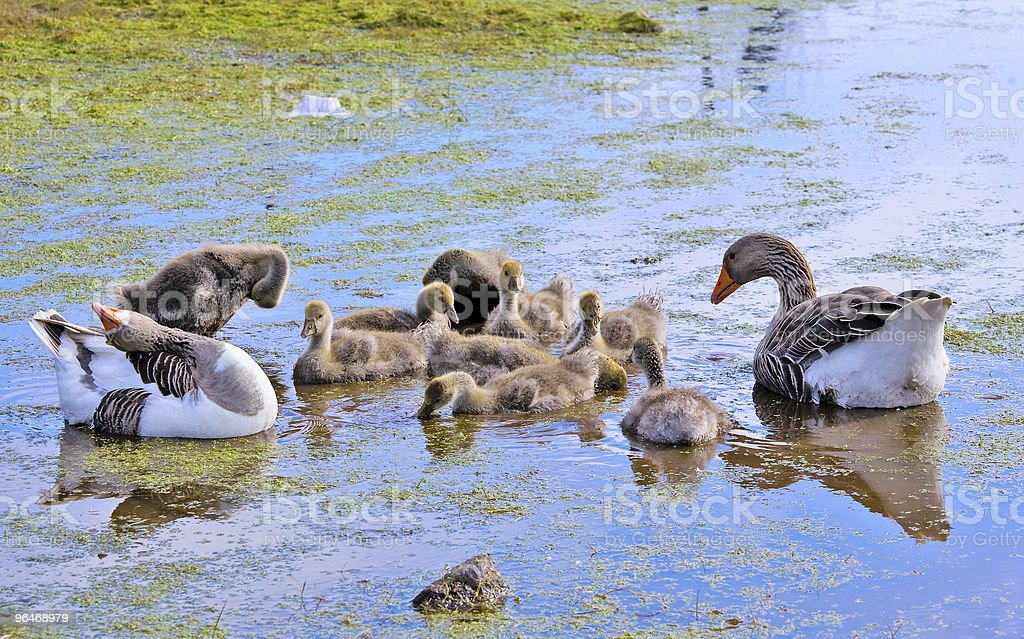 Goose  floats royalty-free stock photo