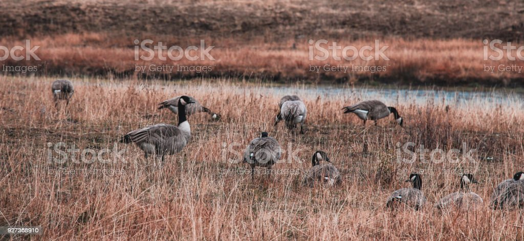 Goose flock in Yellowstone National Park - Royalty-free Animal Stock Photo