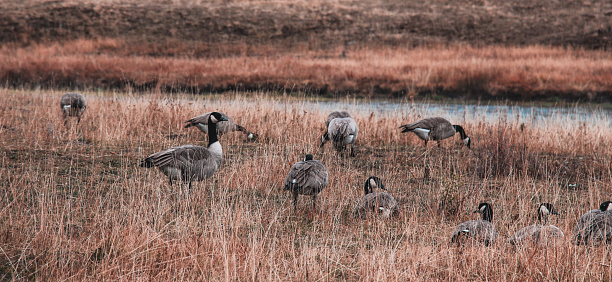 Goose Flock In Yellowstone National Park Stock Photo - Download Image Now