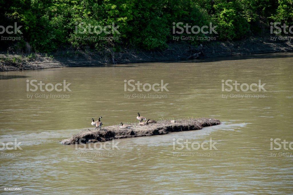 goose flock stock photo