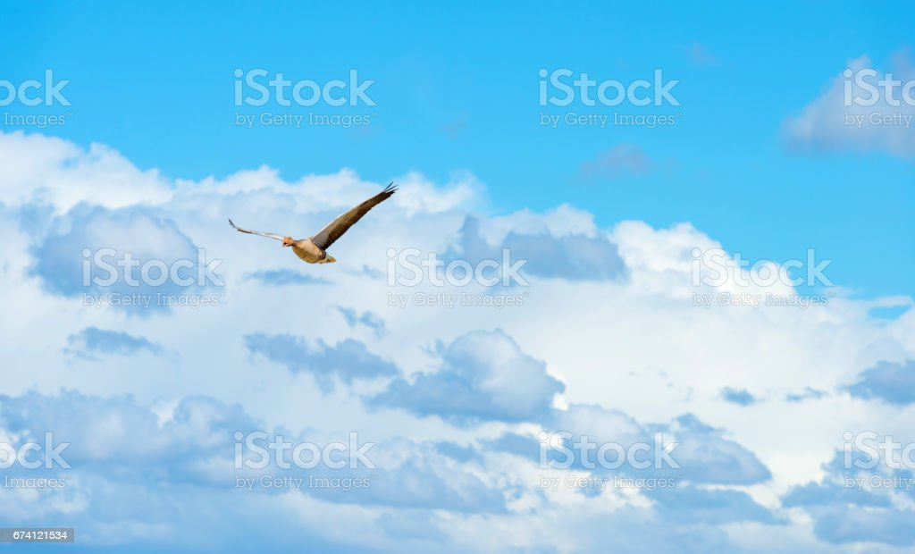 Goose flying in a blue cloudy sky in spring royalty-free stock photo
