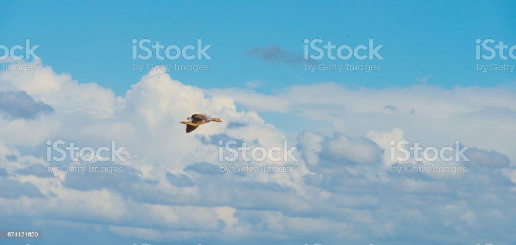 鵝在春天的藍天下飛翔 免版稅 stock photo