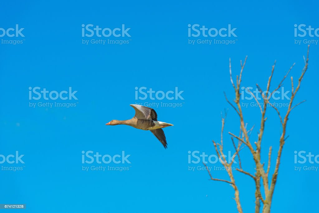 Goose flying in a blue sky in spring royalty-free stock photo