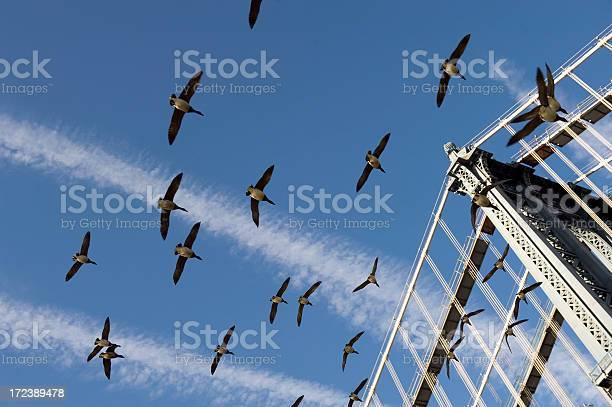 Goose flying over the manhattan bridge picture id172389478?b=1&k=6&m=172389478&s=612x612&h=gw7jqbimk8neypucnbprzw6kby6nhiqcq26zhcpko1m=