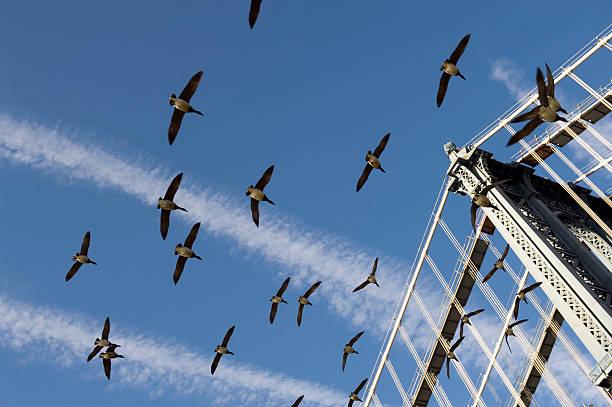 Goose fliegt über die Manhattan Bridge – Foto