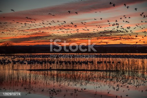 At sunrise, snow geese fly from lakes by the thousands