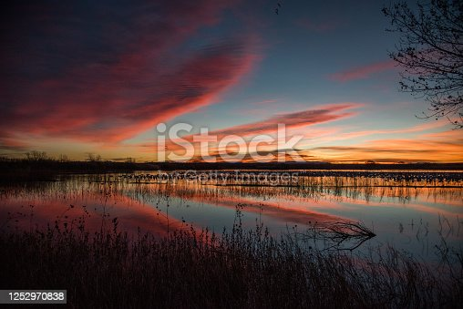 At sunrise, snow geese waiting to fly from lakes by the thousands