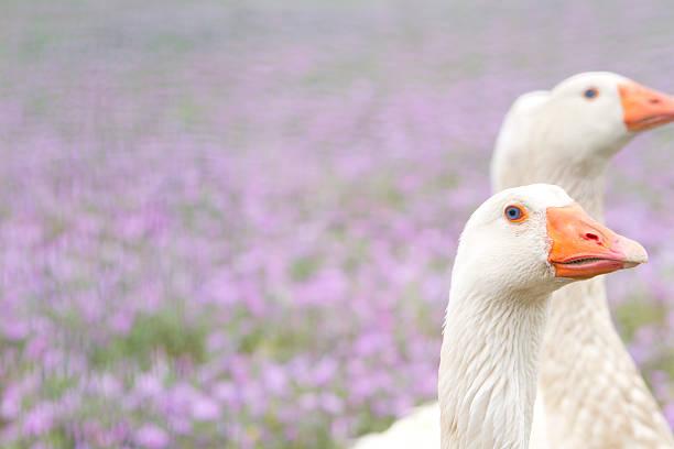 Goose head stock photo