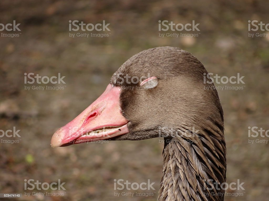 Goose head with closed eyes stock photo