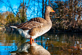 Goose in a pound