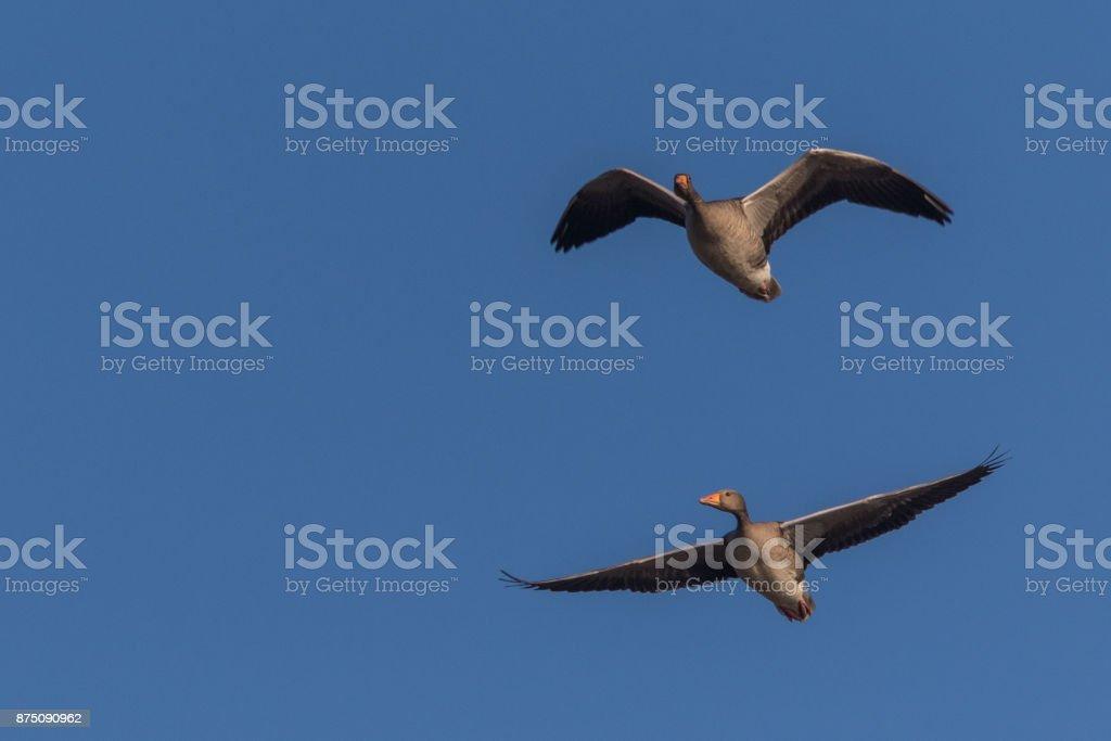 Goose in Blue skies stock photo