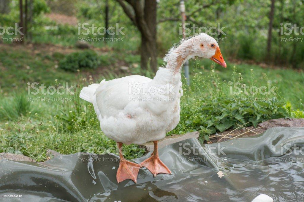 goose in depression stock photo