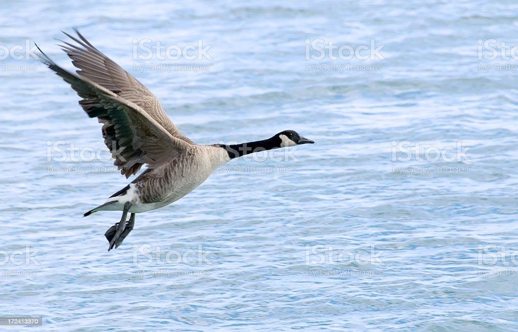 Goose In Flight royalty-free stock photo