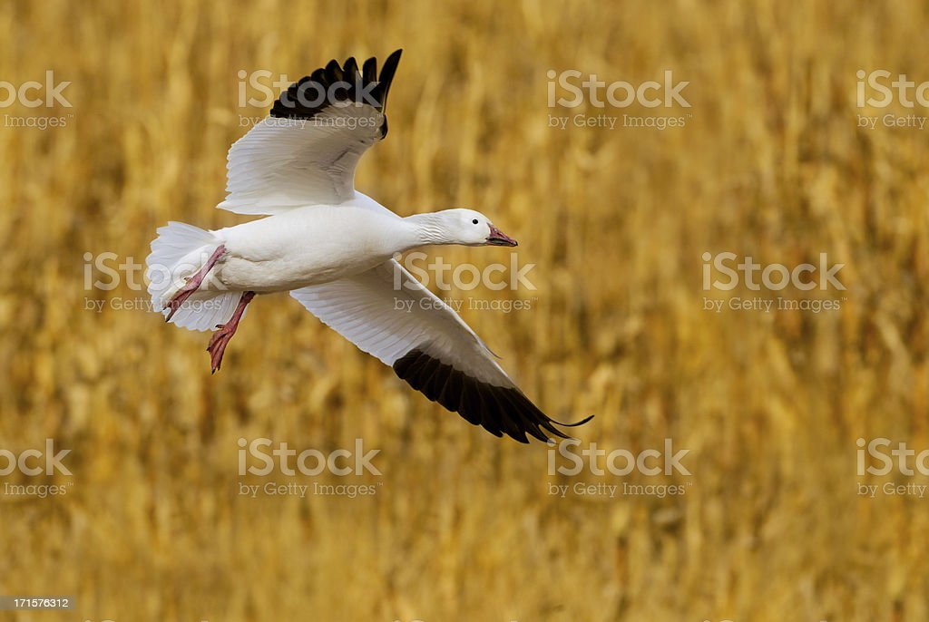 Goose Landing in Corn Field royalty-free stock photo